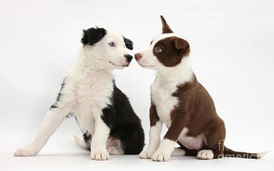 Herding Dog Photograph - Border Collie Puppies by Mark Taylor