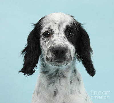 Border Collie X Cocker Spaniel Puppy Print by Mark Taylor