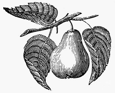Botany: Pear Art Print by Granger