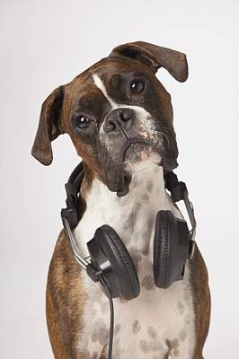 White Boxer Dog Photograph - Boxer Dog With Headphones by LJM Photo