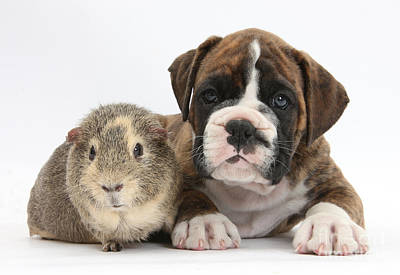 Boxer Puppy And Guinea Pig Art Print by Mark Taylor