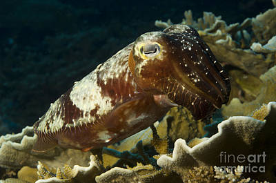 New Britain Photograph - Broadclub Cuttlefish, Papua New Guinea by Steve Jones