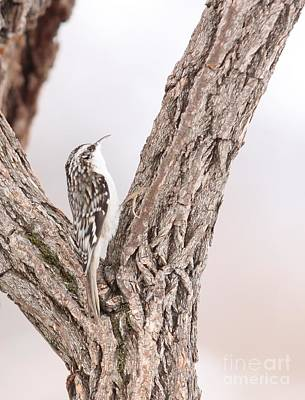Brown Creeper Art Print