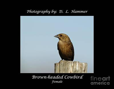 Brown-headed Cowbird Art Print by Dennis Hammer