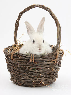 Baby In Basket Photograph - Bunny In A Basket by Mark Taylor