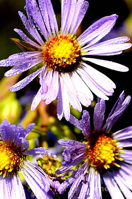 Bushy Aster With Dew Art Print by Thomas R Fletcher