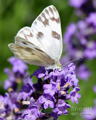 Photograph - Butterfly And Flower by Steve Javorsky