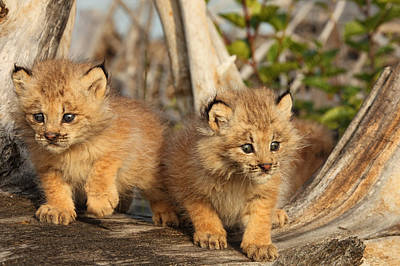 Canadian Lynx Photograph - Canadian Lynx Kittens, Alaska by Robert Postma