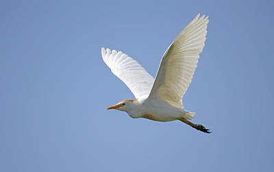 Amy Weiss - Cattle Egret by Perry Van Munster