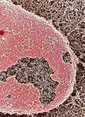 Cell Nucleus, Sem Art Print by