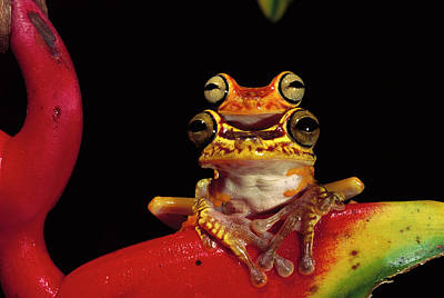 Chachi Tree Frog Hyla Picturata Pair Art Print by Pete Oxford