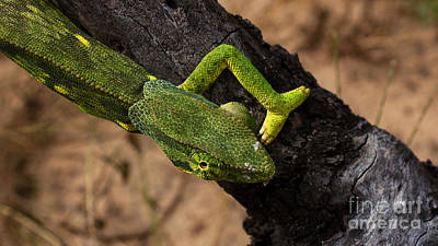 Photograph - Chameleon by Mareko Marciniak
