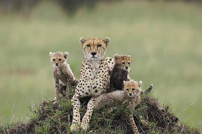 Cheetah Acinonyx Jubatus Mother Art Print