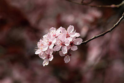 Cherry Blossom Tree Art Print by Pierre Leclerc Photography