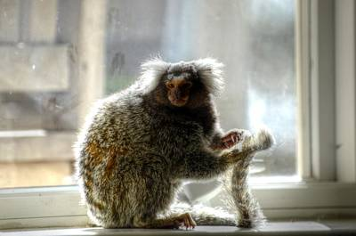 Chewy The Marmoset Art Print