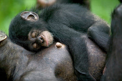 Photograph - Chimpanzee Pan Troglodytes Adult Female by Cyril Ruoso