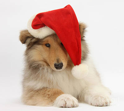 House Pet Photograph - Christmas Collie by Mark Taylor