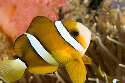 Malapascua Island Photograph - Closeup Of A Clarks Anemonefish by Tim Laman