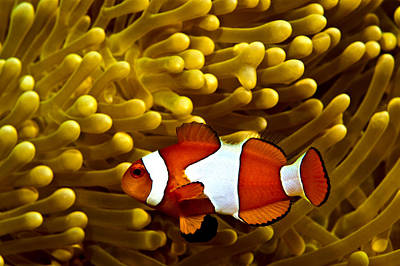 Clown Fish Photograph - Clown Fish by Larry Gohl