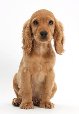 Golden Cockers Photograph - Cocker Spaniel Puppy by Mark Taylor