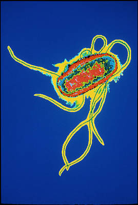Coloured Tem Of Escherichia Coli Bacteria Art Print by Dr Linda Stannard, Uct