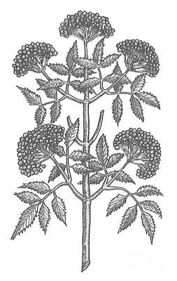 Common Elder Tree Art Print by Science Source