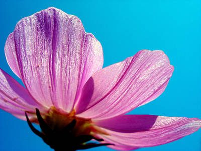 Vibrant Photograph - Cosmia Flower by Sumit Mehndiratta