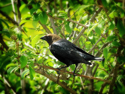 Photograph - Cowbird by Scott Hovind