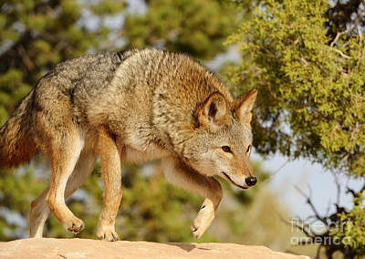 Coyote Hunting Art Print by Dennis Hammer