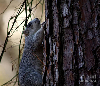 Delmarva Fox Squirrel Art Print
