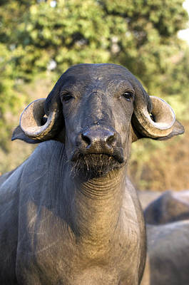 Gir Photograph - Domestic Asian Water Buffalo by Tony Camacho