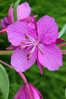 Photograph - Dwarf Fireweed by Doug Lloyd