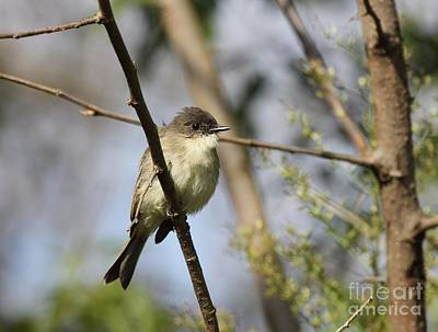 Photograph - Eastern Phoebe by Jack R Brock