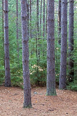 Photograph - Evergreen Forest by John Stephens