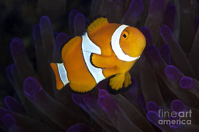 Amphiprion Ocellaris Photograph - False Ocellaris Clownfish In Its Host by Terry Moore