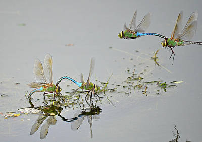 Dragonflies Mating Photograph - Fly By by Fraida Gutovich