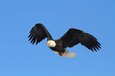 Photograph - Flying Bald Eagle by Doug Lloyd
