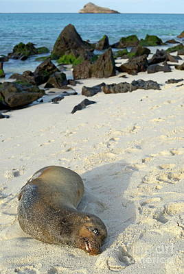 Galapagos Sea Lion Sleeping On Beach Art Print by Sami Sarkis
