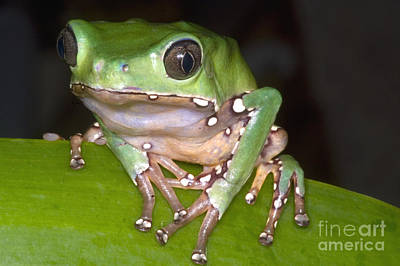 Frogs Photograph - Giant Monkey Frog by Dante Fenolio