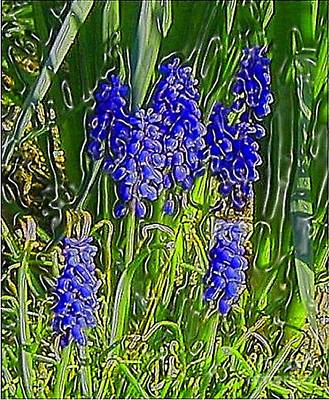 Art Print featuring the photograph Grape Hyacinths by Holly Martinson