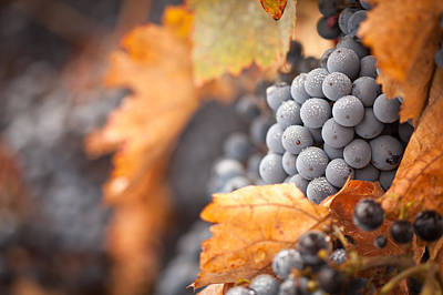 Vino Photograph - Grapes With Mist Drops On The Vine by Andy Dean