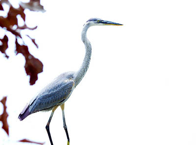 Great Blue Heron Art Print by Mark Andrew Thomas