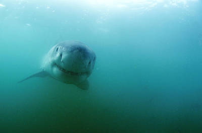Carcharadon Carcharias Photograph - Great White Shark by Alexis Rosenfeld