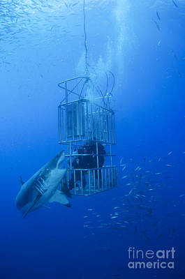 Great White Shark And Divers, Guadalupe Art Print by Todd Winner