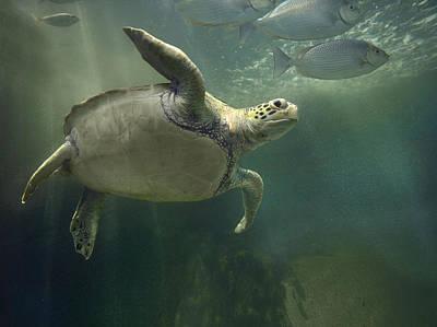 Green Sea Turtle Photograph - Green Sea Turtle Chelonia Mydas by Tim Fitzharris