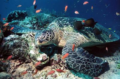 Green Sea Turtle Photograph - Green Turtle by Georgette Douwma