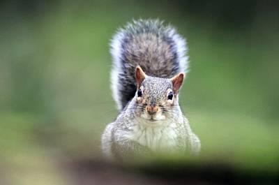 Eastern Grey Squirrel Photograph - Grey Squirrel by Colin Varndell