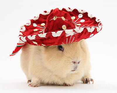 Photograph - Guinea Pig Wearing A Hat by Mark Taylor