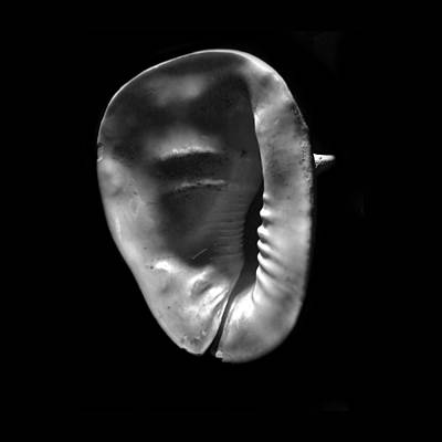 Photograph - Horned Helmet Shell Cassis Cornuta by Frank Wilson