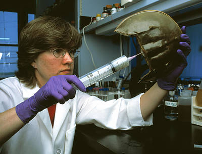 Mbl Photograph - Horseshoe Crab Research by Volker Steger